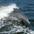 Bottlenose_Dolphin_Dobri_dupin